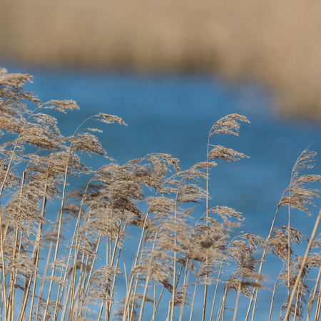 many natural panicles in front of reed belt, blue water Фото со стока