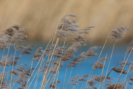 many natural reed panicles in wind, blue water, reed belt Фото со стока