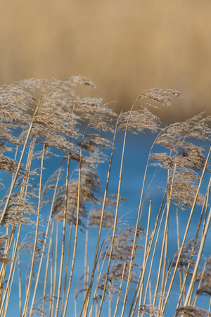 many natural panicles, reed belt, blue water, sunshine