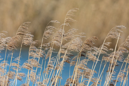 several natural reed panicles, reed belt and blue water in sunshine