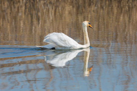 side view mirrored natural swimming mute swan (cygnus olor)