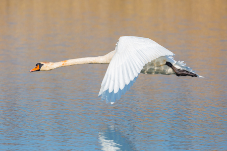natural mute swan (cygnus olor) flying over water surface, spread wings