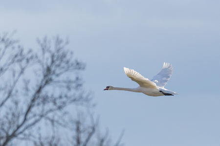 natural white mute swan (cygnus olor) flying towards tree, blue sky