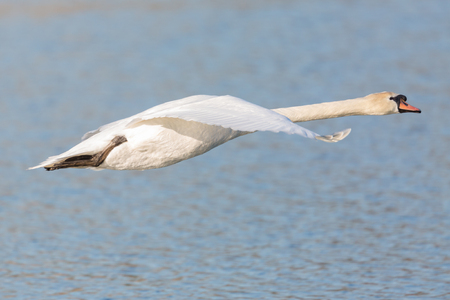 natural side view portrait white mute swan (cygnus olor) in flight, blue water Stock Photo