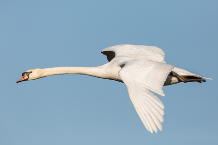 close view isolated natural white mute swan (cygnus olor) flying in blue sky Stock Photo