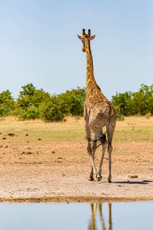 one natural male giraffe leaving watering hole  in savanna with bushes, blue sky
