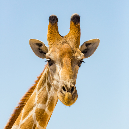 detailed front view portrait of natural giraffe head, blue sky 版權商用圖片