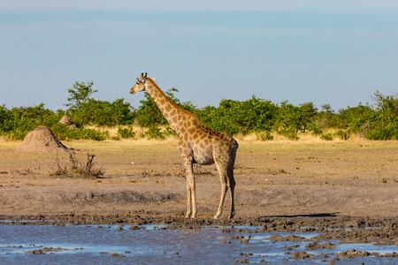 natural male giraffe head standing at waterhole, savanna, termite hill, bushes, blue sky