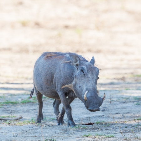 side view of natural warthog (phacochoerus aethiopicus) standing in savanna