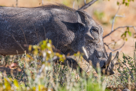side view of natural warthog (phacochoerus aethiopicus) in dry savanna