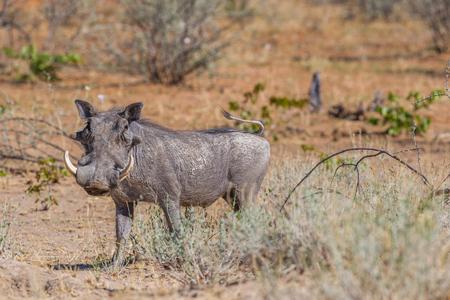 one natural warthog (phacochoerus aethiopicus) standing in dry savanna