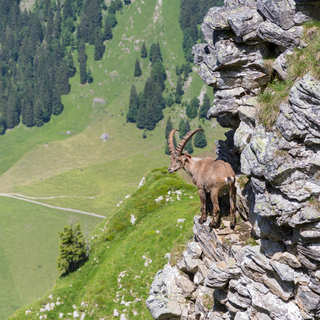 natural male alpine capra ibex capricorn standing on rock with valley view