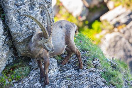 natural male alpine ibex capricorn standing in rocky scarp cliff