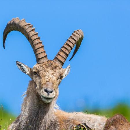 detailed portrait natural alpine capra ibex capricorn sitting in meadow, blue sky