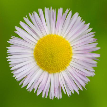 close-up isolated white blossom of natural daisy flower (bellis perennis) Stock Photo