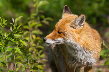 close-up portrait red fox (vulpes) standing in sunlight