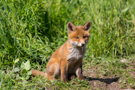 close-up cute young baby red fox (vulpes) sitting on ground, sunlight