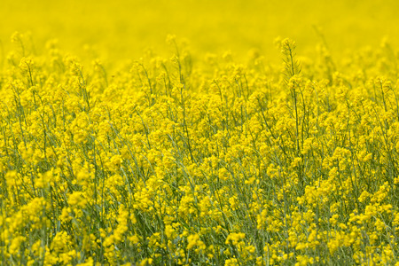 natural canola field close-up with yellow bloom