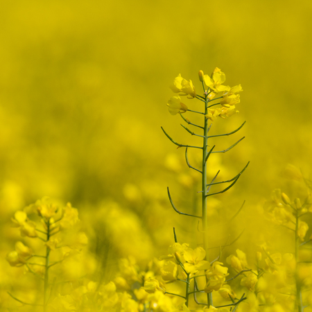 isolated natural yellow blossom of canola rapeseed