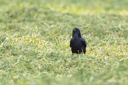 natural black carrion crow (corvus corone) standing in grass Stock Photo