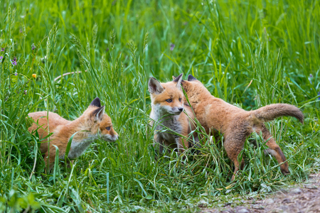 three young red foxes (vulpes) playing in natural green grass
