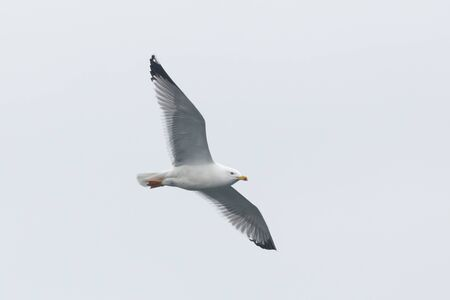 natural isolated flying yellow-legged gull (larus michahellis)