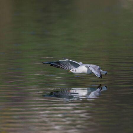 natural black-headed gull (larus ridibundus) flying over water surface Stok Fotoğraf