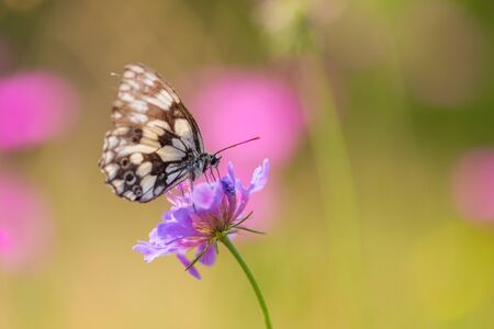detailed view  marbled white butterfly (melanargia occitanica), violet bloom