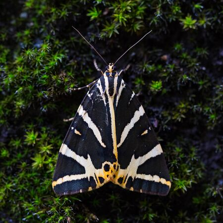 close-up view Jersey tiger butterfly (euplagia quadripunctaria)