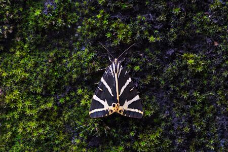 closeup view natural Jersey tiger (euplagia quadripunctaria) butterfly