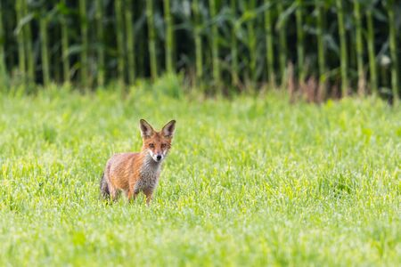 one natural red fox (vulpes) standing in front of cornfield