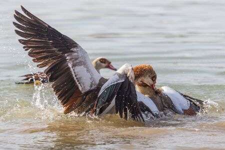 natural egyptian nile geese (alopochen aegyptiaca) fighting in water Imagens