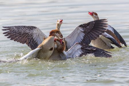 several egyptian nile geese (alopochen aegyptiaca) fighting in water
