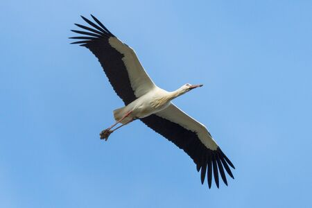 white stork (ciconia ciconia) with mud on feet flying, blue sky Stock Photo