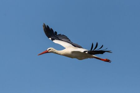 close-up isolated flying white stork (ciconia ciconia) in blue sky, spread wings