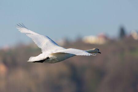 white mute swan (cygnus olor) flying away, tree, house, blue sky