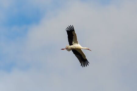 one flying white stork (ciconia ciconia), spread wings, cloudy sky