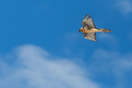 isolated bearded vulture (gypaetus barbatus) flying in cloudy blue sky