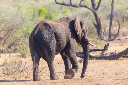 close-up african elephant (loxodonta africana) in savanna Stock Photo