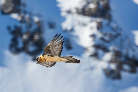 one adult bearded vulture (gypaetus barbatus) flying, rocks, snow