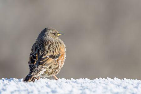 close-up natural alpine accentor bird (prunella collaris) in winter, snow Imagens - 129290027