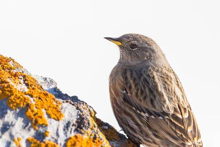 close-up natural alpine accentor (prunella collaris) on rock Imagens