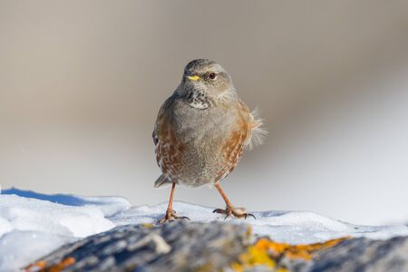front view isolated alpine accentor (prunella collaris) standing on snow