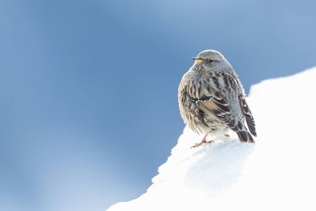 close-up one isolated alpine accentor (prunella collaris) on snow Imagens