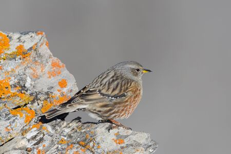 side view isolated alpine accentor (prunella collaris) standing on rock Imagens - 129290030