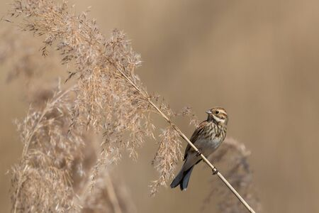 isolated female reed bunting (emberiza schoeniclus) in reed