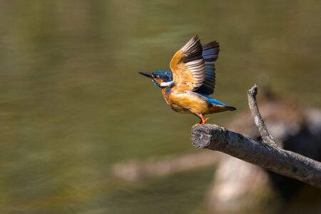 natural common kingfisher (alcedo atthis) during take-off from perch