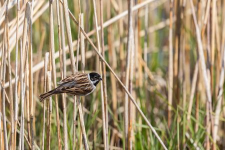 one male reed bunting (emberiza schoeniclus) in reed stalks Stock Photo