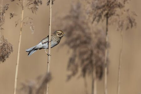 one female reed bunting (emberiza schoeniclus) at reed stalk