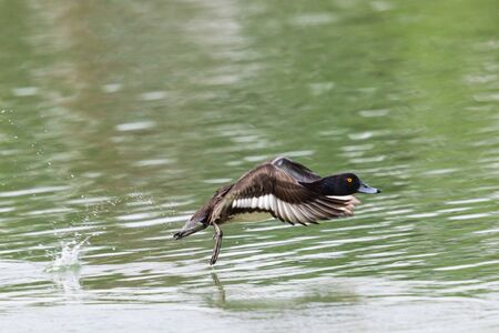 one tufted ducks (aythya fuligula) during take-off, spread wings